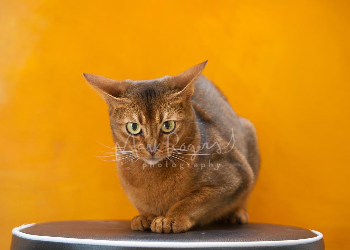 Abyssinian Cat Orange