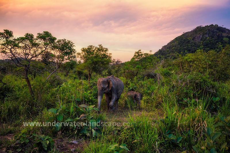 Elephant of Minneriya Park  in central Sri Lanka, just before the night