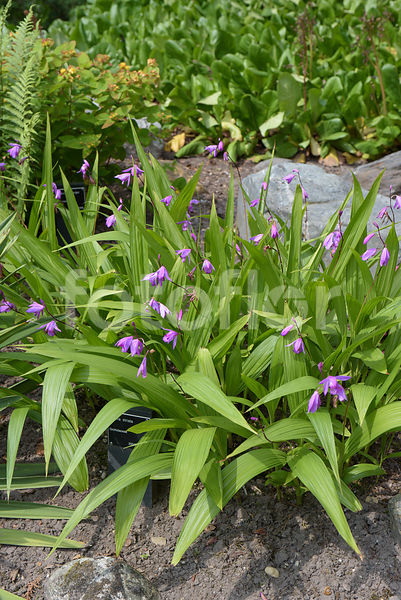 Photo de Bletilla striata, orchidée jacinthe, rose - fotoflor ...