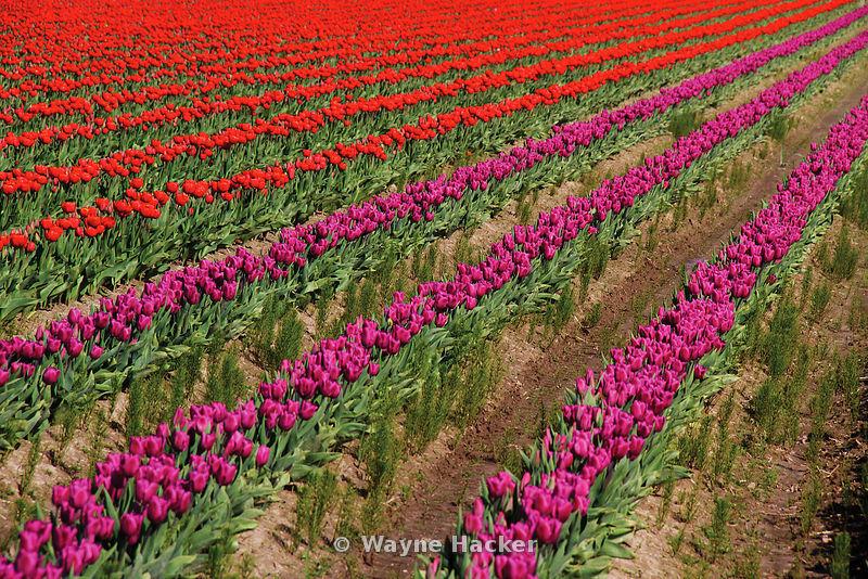 140407_WH_0012, Tulip Fields, Skagit Valley