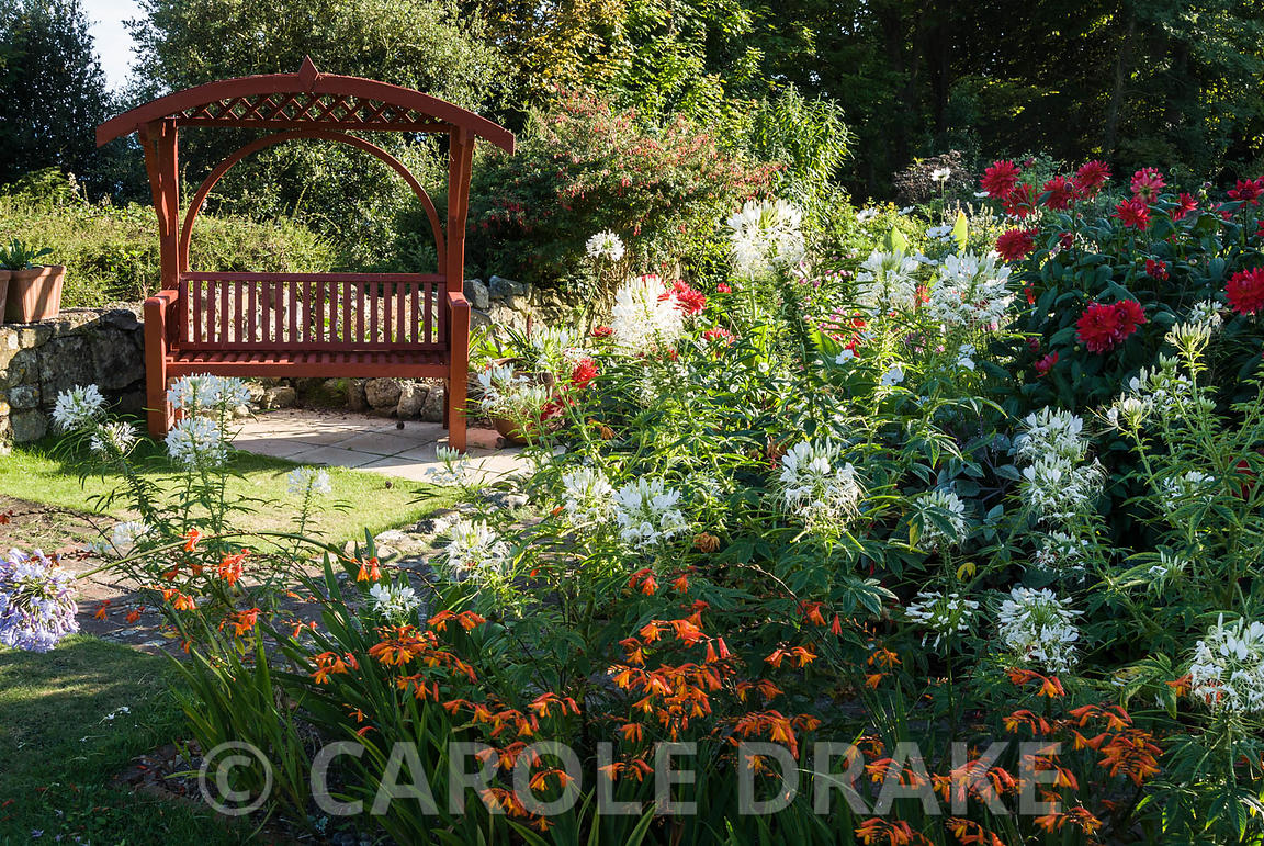 Carole drake annuals including cosmos purity and white cleome carole drake annuals including cosmos purity and white cleome the spider flower mix with perennials such as crocosmia dahlias and agapanthus with izmirmasajfo