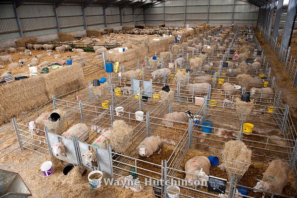 D89aa638 4397 11e0 9bbf 375cd9d6715a Sheep In Lambing Shed Cumbria on Animal Shelter Floor Plans