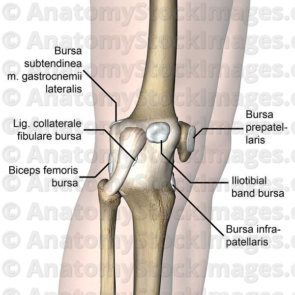 Anatomy Stock Images Knee Articulatio Genus Bursa Infrapatellaris