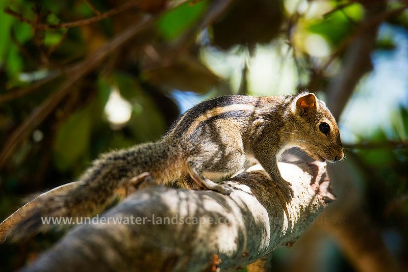 Chipmunks (Tamias striatus) - squirrels in Sri Lanka