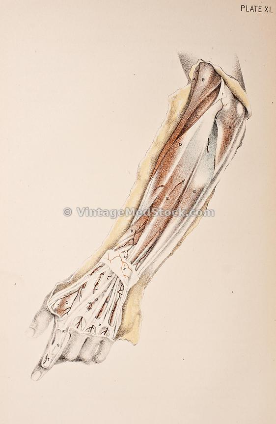 VintageMedStock | Tendons, Bone and Muscles of Lower Arm