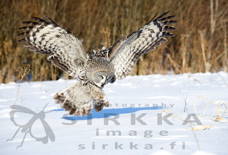 Female Great Grey Owl (Strix nebulosa) hunting mole