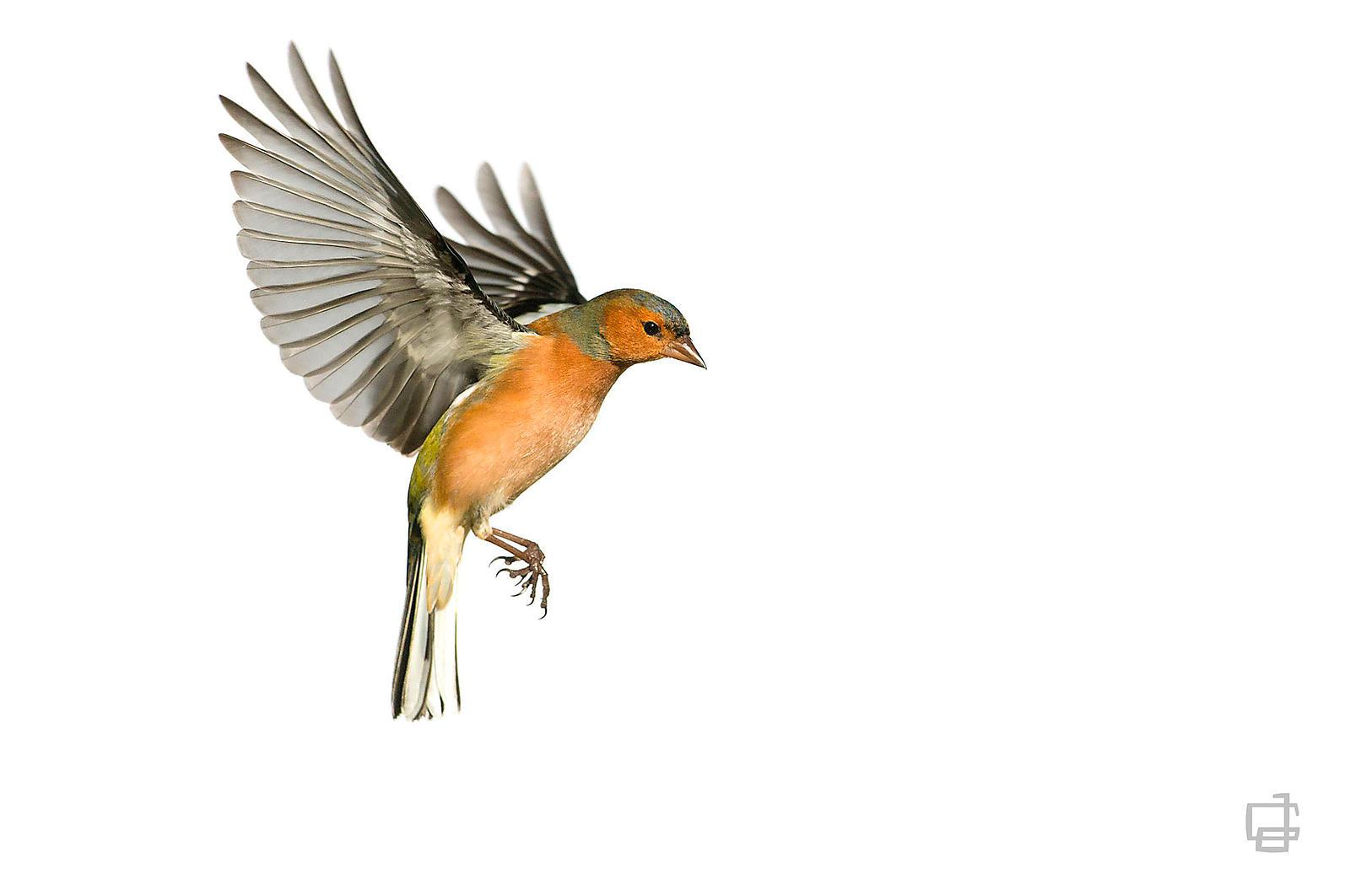 J r me guillaumot photographe animalier tirage d 39 art de l 39 exposition voltige - Jeux d oiseau qui vole ...