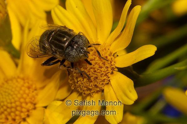 Syrphid fly, Sunnyvale, CA, USA