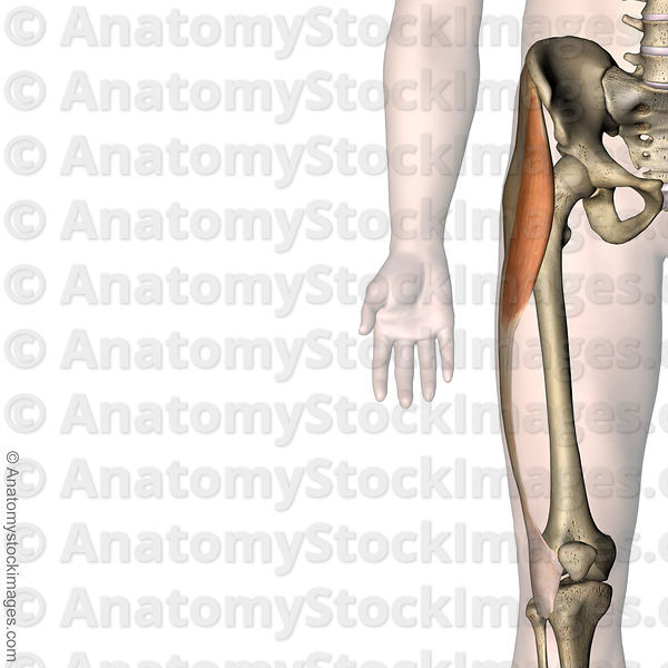 Anatomy Stock Images Knee Musculus Tensor Fascitae Latae Muscle