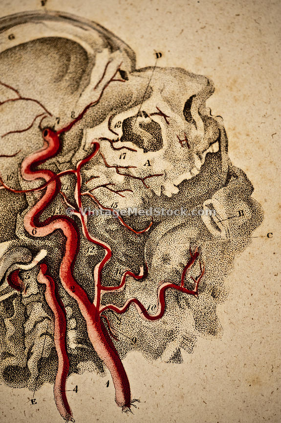 Vintagemedstock Blood Vessels In Neck And Head
