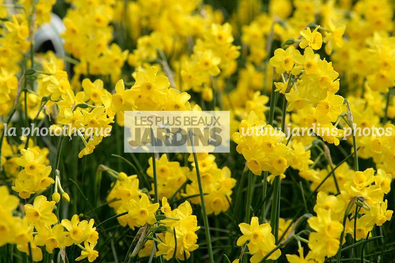 La Phototheque Les Plus Beaux Jardins Narcissus Chit Chat