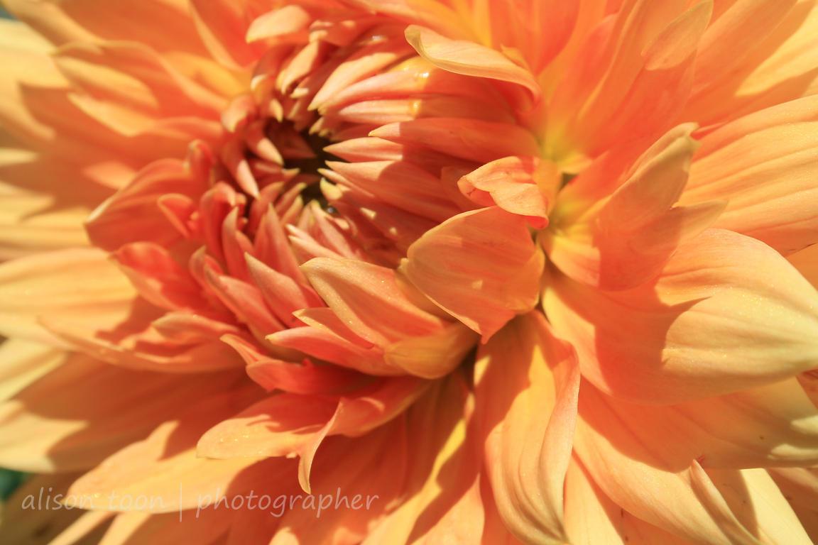 Alison Toon Photographer Orange Dahlia Flower