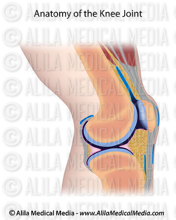 Alila medical media knee joint diagram unlabeled medical knee joint diagram unlabeled ccuart Gallery