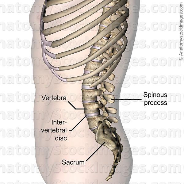 Anatomy Stock Images | lower-back-vertebra-intervertebral-disc ...