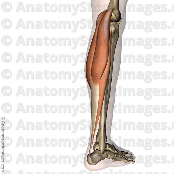 Anatomy Stock Images | lowerleg-musculus-triceps-surae-achilles ...