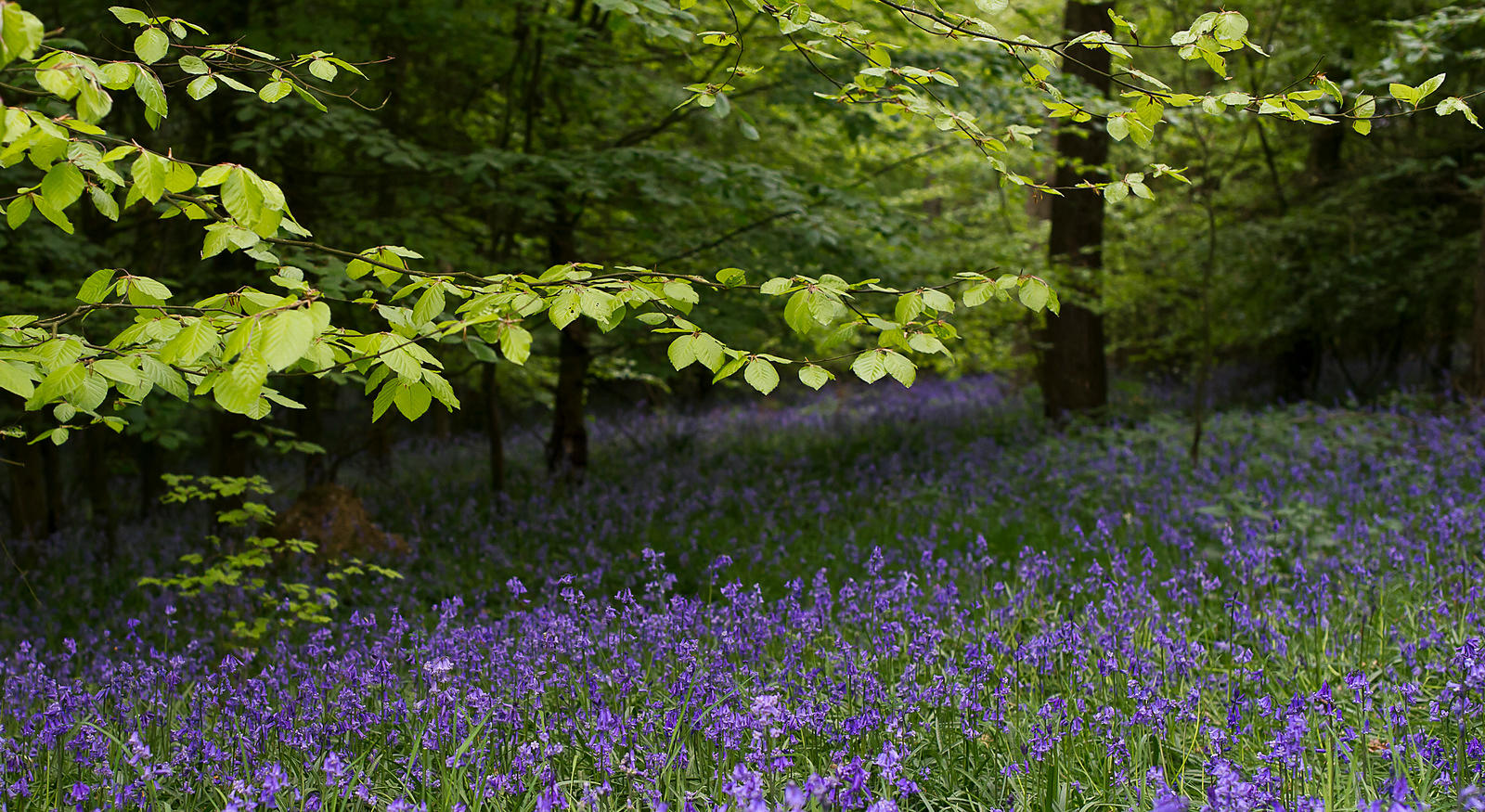 Bluebells, Penn Wood