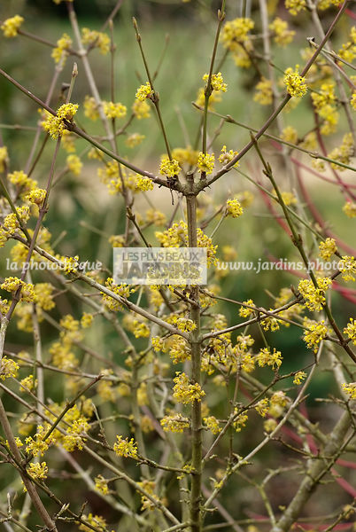 La phototh que les plus beaux jardins cornus mas - Arbuste a floraison hivernale ...