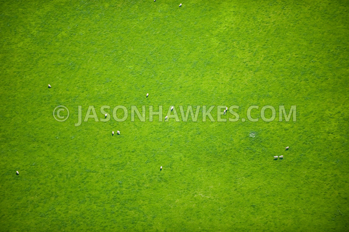 grass field aerial. Field Of Grass With Sheep Aerial O