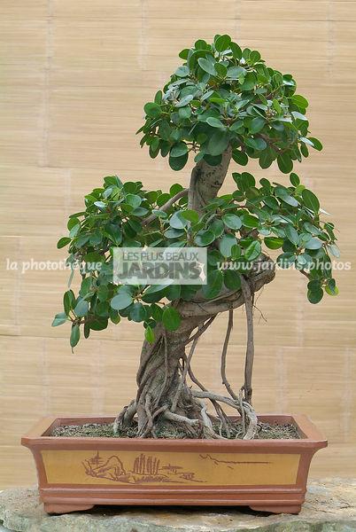 la photothèque   LES PLUS BEAUX JARDINS   Ficus formosanum (ficus de ...