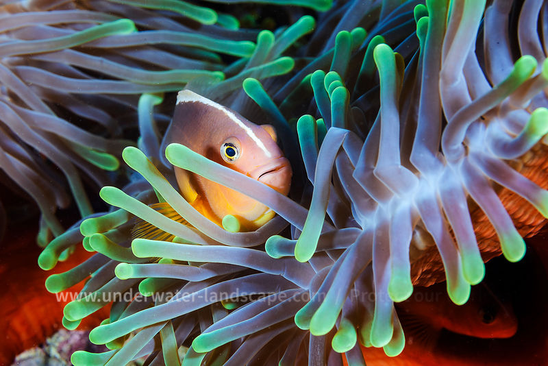 clown fish picture in the mayotte island lagoon