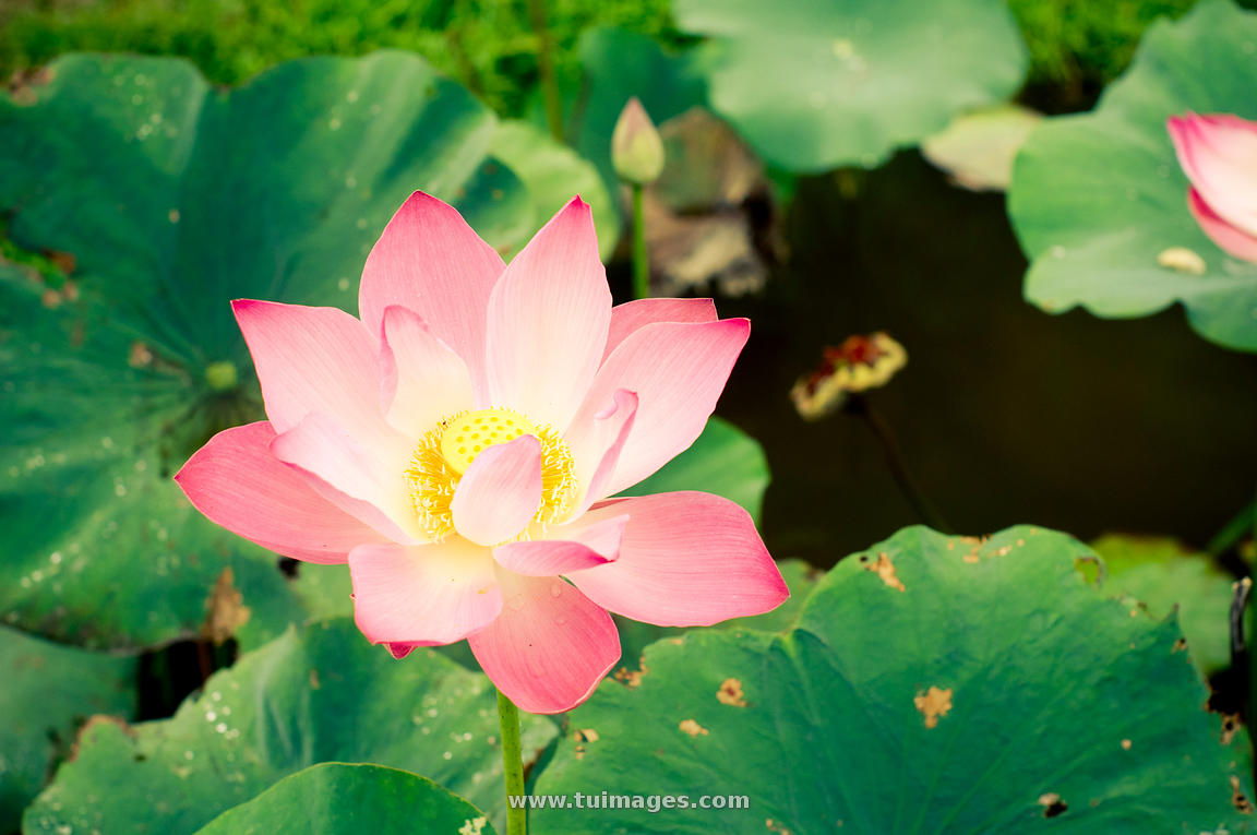 Stock Images Lotus Flower In Pond Stock Photos