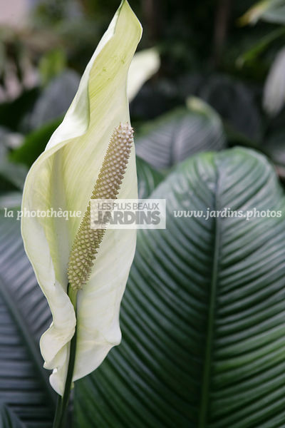 La Phototheque Les Plus Beaux Jardins Spathiphyllum Commutatum