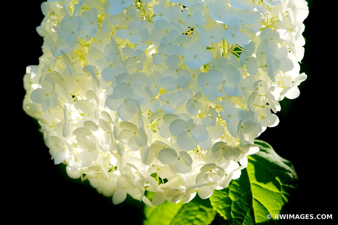 Photo Print of HYDRANGEA ANABELLE Print Framed Picture Fine Art ...