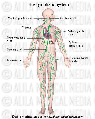 Alila medical media labeled diagram of human lymphatic system labeled diagram of human lymphatic system ccuart Images