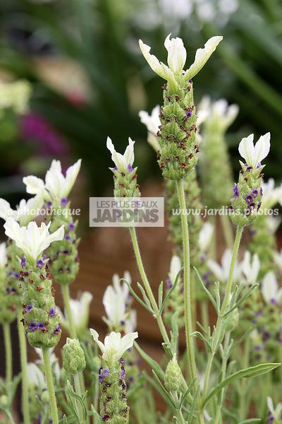 Lavandula stoechas \u0027Tiara\u0027 (lavande papillon), Feench lavender, Lamiaceae,  Sous