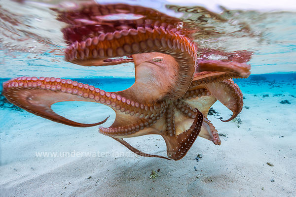 Octopus underwater in Mayotte-Cephalopods : how to photograph octopus, shrimps, squids and cuttlefishs