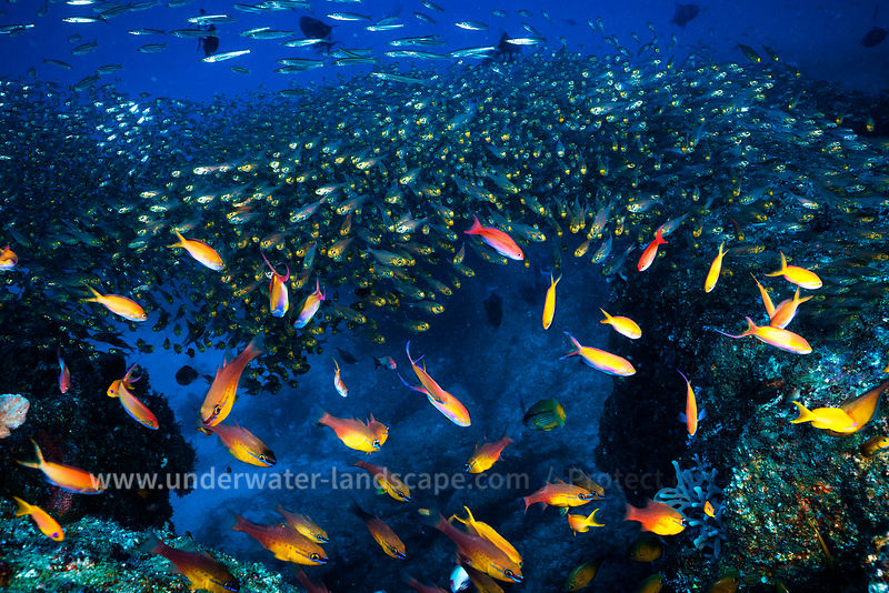 Mozambique under water: scuba diving photography-fauna and flora -Glassfish and Apogon