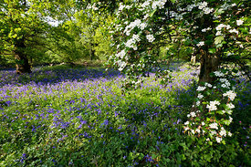 Bluebells and may