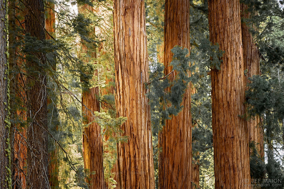 Landscaping Redwood Bark : Image sequoia redwood trunks stock photo by jf maion