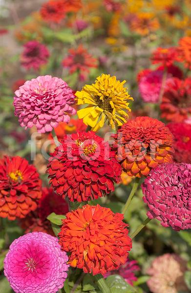 Photo De Zinnia A Fleur Monstrueuse Varie Fotoflor Grand Choix