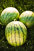 Petite Yellow Watermelons at Seed Savers Exchange in Decorah, Iowa, USA