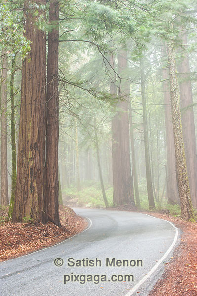Early morning fog along road, Big Basin Redwoods State Park, Boulder Creek, CA, USA