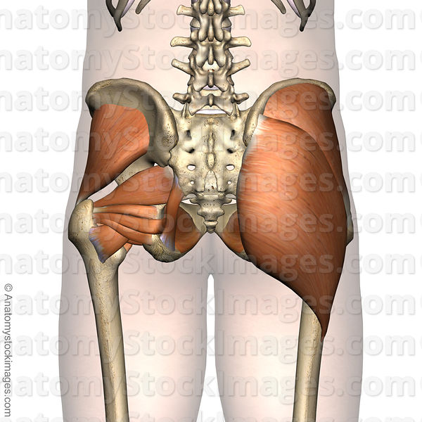 Anatomy Stock Images | hip-muscles-musculus-gluteal-region-gluteus ...