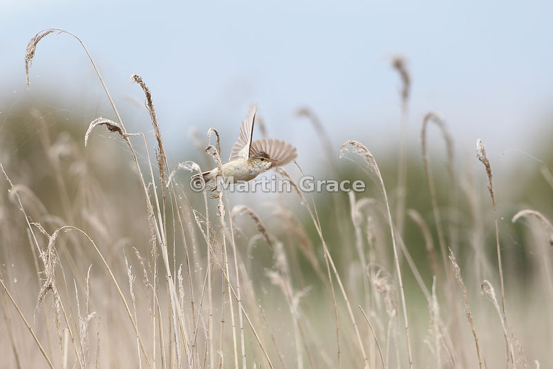 Reed Warbler (Acrocephalus scirpaceus) in flight through reed bed, Parque Nacional de las Tablas de Daimiel, Castilla-La Mancha