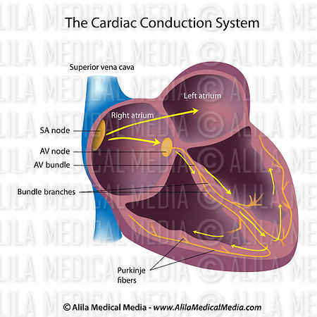 Alila medical media electrical pathways of the heart labeled electrical pathways of the heart labeled diagram ccuart Choice Image
