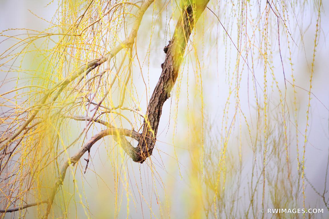 Photo Print of WHITE WILLOW Print Framed Picture Fine Art ...