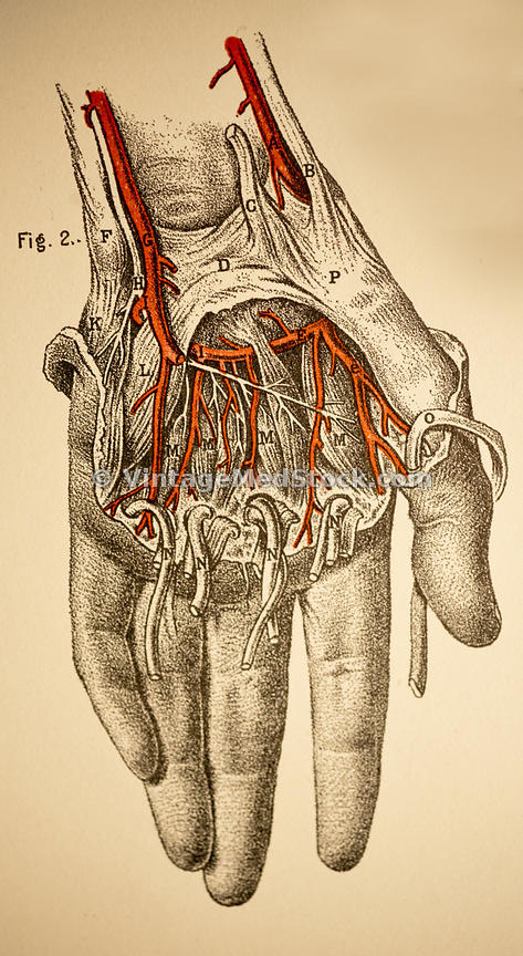 VintageMedStock | Ligaments and Veins of the Arm, Hand, Wrist