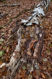 Decaying log