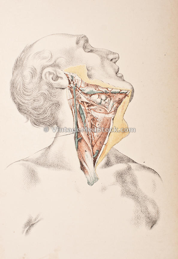 Vintagemedstock Arteries And Nerves Of The Neck
